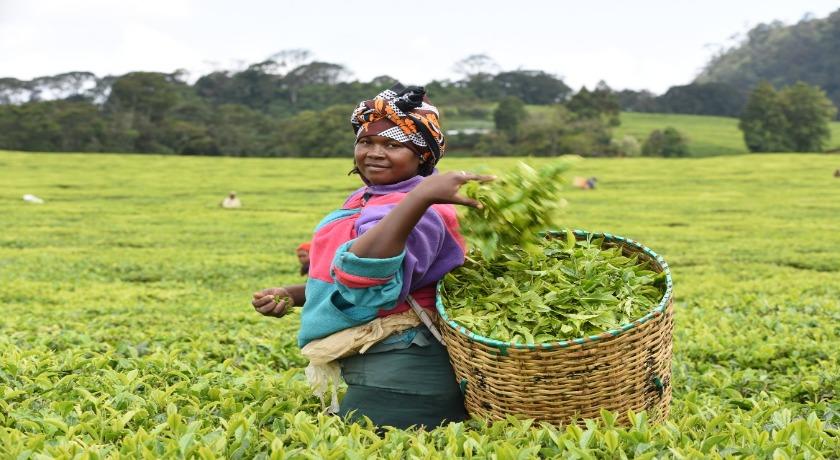 Fairtrade Fortnight Janice Kangai plucking tea in a field in Kenya credit by David Macharia